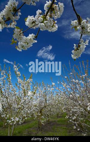 Fleur de printemps sur les arbres fruitiers du verger, Westwood, Blenheim, Marlborough, île du Sud, Nouvelle-Zélande Banque D'Images