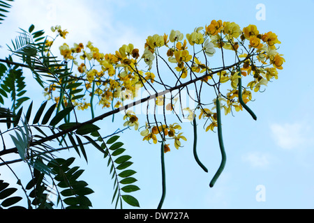 Senna siamea, également connu sous le nom de Arbre Kassod, en fleurs, dans le Nord de la Thaïlande. Banque D'Images