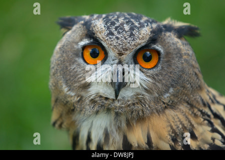 Close-up grand hibou Banque D'Images