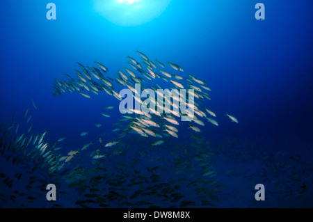 L'École d'bluestripe snappers, Lutjanus kasmira, nage par la mer Tiger naufrage, Honolulu, Oahu, Hawaii, USA Banque D'Images