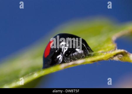 Place du rein (Coccinelle Chilocorus renipustulatus) reposant sur des feuilles adultes citrine Powys Pays de Galles Banque D'Images