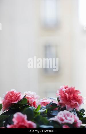 Close up azalea fleurs plantes sur rebord de fenêtre Banque D'Images