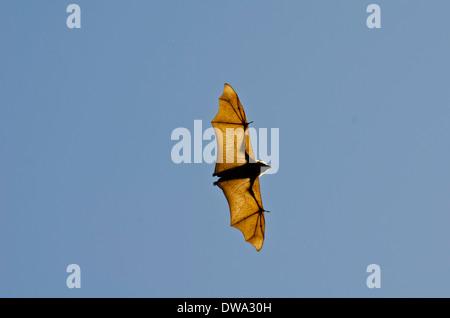 Le renard volant à tête grise (Pteropus poliocephalus) est un megabat originaire de l'Australie Banque D'Images