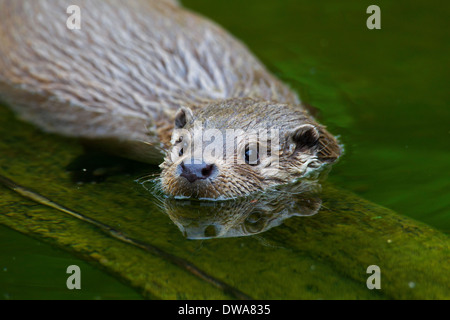 Rivière européenne loutre (Lutra lutra) close up portrait in stream