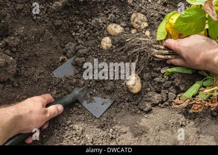 Man déterrer les pommes de terre de jardin