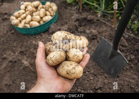 Mature man holding de pommes de terre récoltés à partir de jardin