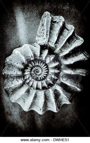Les cercles concentriques d'une coquille fossilisée, Angleterre, Royaume-Uni. Banque D'Images