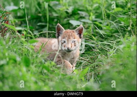 Le Lynx eurasien (Lynx lynx), Cub Banque D'Images