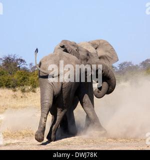 Deux éléphants (Loxodonta africana) combats dans la région de Savuti du Botswana en Afrique australe