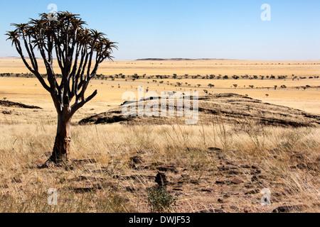 Dans le Quiver Tree avions semi-désertique de la Namibie dans le désert de Namib Naukluft Banque D'Images