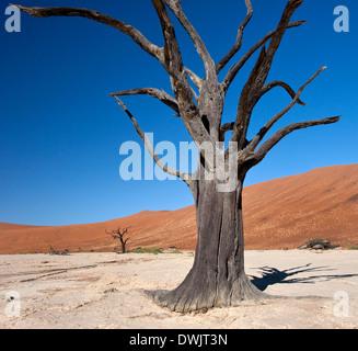 Arbre pétrifié à Dead Vlei salt pan près de Sossusvlei dans le désert du Namib en Namibie Banque D'Images