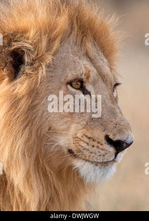 Un mâle adulte ( lion Panthera leo) dans la région de Savuti Botswana Banque D'Images