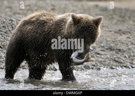 Ours grizzli (Ursus arctos horribilis) avec du poisson frais en bouche avec les marins qui sortent, Katmai national park, Alaska, USA Banque D'Images