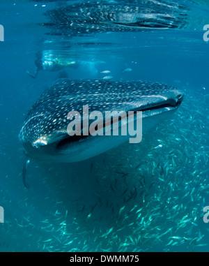 Chercheur scientifique et requin-baleine (Rhincodon typus) se nourrissent de zooplancton, zone de protection marine de Yum Balam, Quintana Roo, Mexique