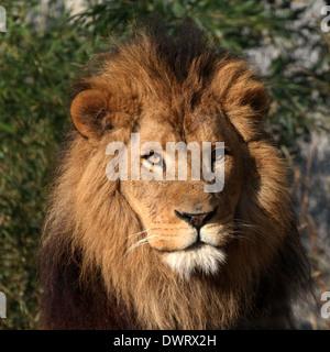 Portrait de la tête d'un mâle mature lion (Panthera leo) Banque D'Images