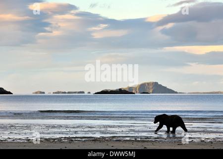 Ours grizzli (Ursus arctos horribilis) Marche à plage, Katmai national park, Alaska, USA. Banque D'Images