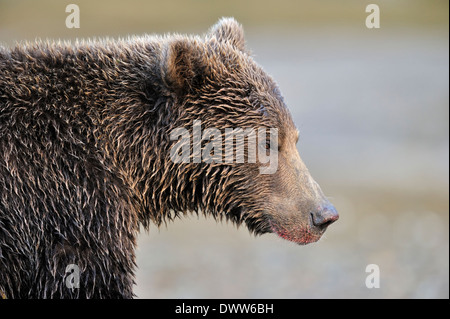 Ours grizzli (Ursus arctos horribilis) portrait. Banque D'Images