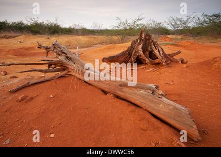 De racines séchées et de tronc d'arbre dans le parc national de Sarigua (désert), Herrera province, République du Panama.