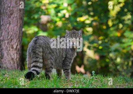 Chat Sauvage Européen (Felis silvestris silvestris) en forêt Banque D'Images