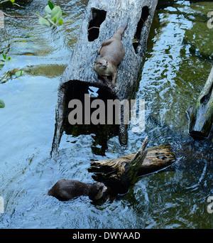 Belle à revêtement lisse Otter (Cerdocyon perspicillata) vivant dans la forêt thaïlandaise
