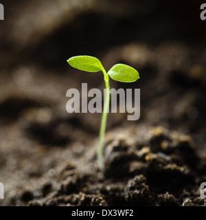 Green sprout faire pousser à partir de graines d'isoler sur fond blanc. Symbole du printemps, concept d'une nouvelle Banque D'Images
