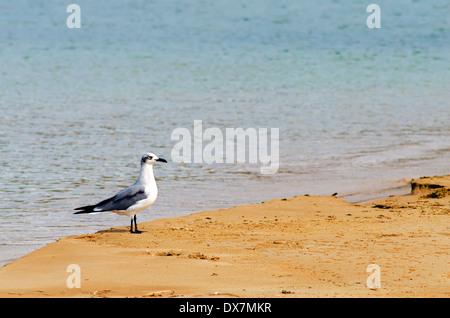 Oiseau blanc et gris sur une plage de la Guajira, Colombie Banque D'Images