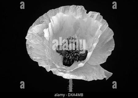 Coquelicot, Papaver commutatum 'Ladybird', noir et blanc fleur sur fond noir. Banque D'Images