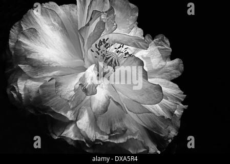 Shirley Double coquelicot, Papaver rhoeas, un noir et blanc tourné sur un fond noir. Banque D'Images