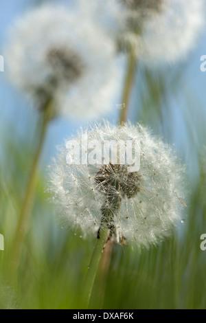 Le pissenlit, Taraxacum officinale, le pissenlit trois horloges dans l'herbe contre le ciel bleu.