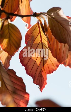 Hêtre , Copper beech, Fagus sylvatica purpurea, feuilles de couleur bronze sur l'arbre.