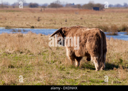 Highland cow standing in field Banque D'Images