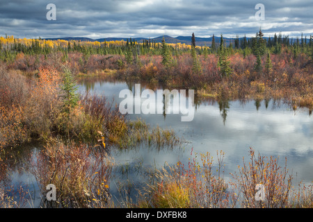 Couleurs d'automne dans la forêt boréale sur la piste de l'argent près de Mayo, au Yukon, Canada Banque D'Images