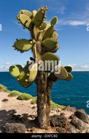 Cactus géant (Opuntia spp.) sur l'île South Plaza dans les Galapagos, Equateur.