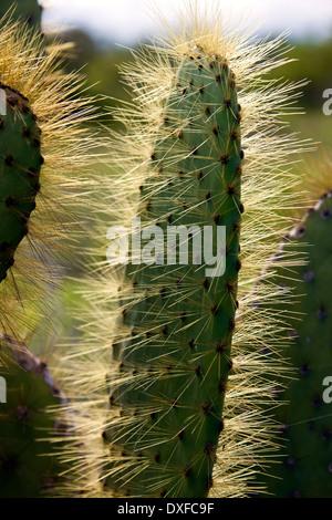 Cactus (Opuntia spp.) l'île de Santiago dans les îles Galapagos, en Équateur.