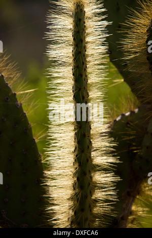 Cactus (Opuntia spp.) sur l'île de Santiago dans les îles Galapagos, en Équateur.