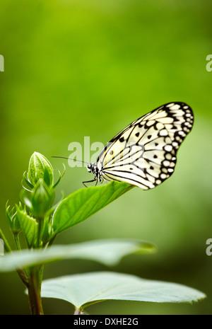 Le Cerf-volant de papier, papier de riz ou grand arbre nymphe (idée leuconoe) papillon. Le jardin des papillons. Banque D'Images