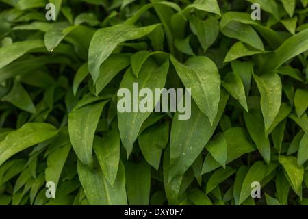 Feuillage de ramsons / ail d'Allium ursinum / - une plante sauvage comestible. Voir 'Description' pour l'accent Banque D'Images