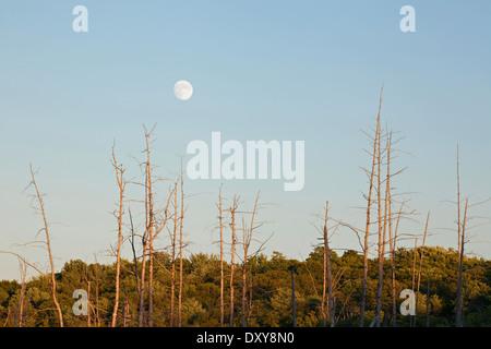 La pleine lune se lever à coucher de soleil sur un marais près de Bala à Muskoka, en Ontario, Canada. Banque D'Images