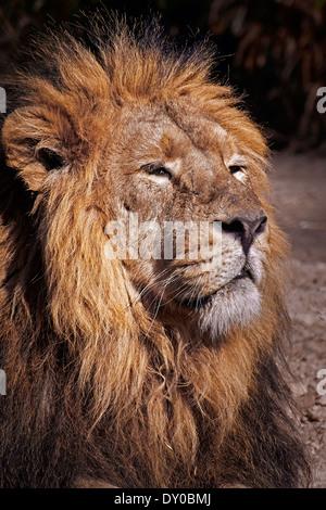 Un mâle adulte lion (Panthera leo) le soleil brille. Banque D'Images