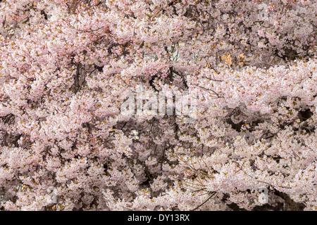 Cerisiers Japonais en pleine floraison printanière le long de South Turner Street-Victoria, Colombie-Britannique, Banque D'Images