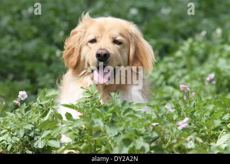Blonde hovawart chien portrait adultes adultes assis assis face à l'écoute de la nature Banque D'Images