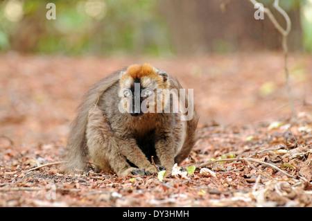 À la façade rouge lémurien brun (Eulemur rufus), à Bérenty, Madagascar, où elles sont introduites. L'aire de répartition Banque D'Images