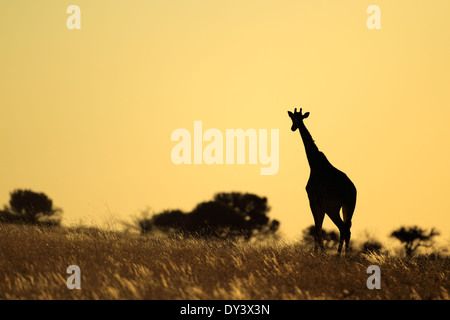Une Girafe (Giraffa camelopardalis) silhouetted against a sunset, Afrique du Sud Banque D'Images