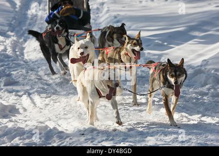 Chiens Husky s'exécutant sur la neige en Laponie, Finlande Banque D'Images