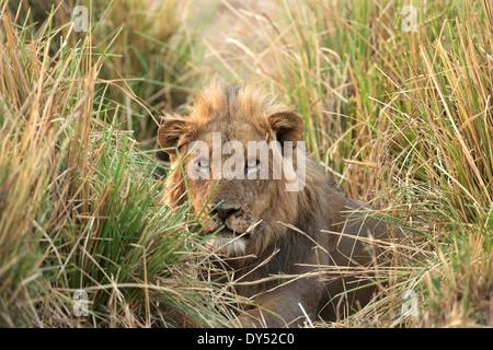 Homme lion - Panthera leo - l'adrénaline qui se cachent dans l'herbe, Mana Pools National Park, Zimbabwe, Africa Banque D'Images