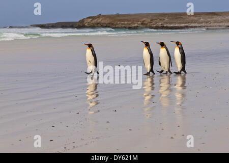 Le manchot royal (Aptenodytes patagonicus) dans une ligne sur une plage de sable blanc, bénévole Point, East Falkland, Îles Falkland