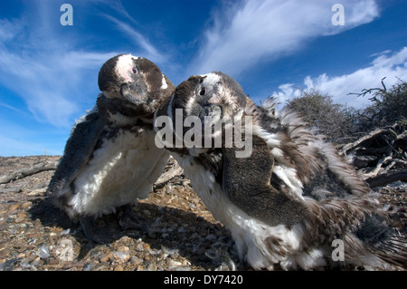 Deux Pingouins de Magellan, Spheniscus magellanicus, dans la colonie de pingouins Punta Tombo, Rawson, Argentine