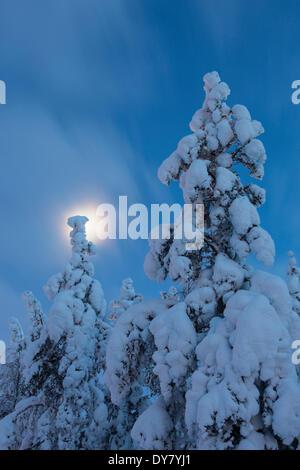 Sapins couverts de neige, mine Kittila, Finlande Banque D'Images