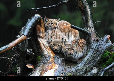 Big cat cat Lynx wildcat chats prédateurs félins des lynx d'animaux à fourrure hiver hiver neige lynx Lynx lynx Banque D'Images