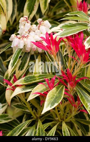 Jeunes feuilles rouge et blanc bell les fleurs de l'arbuste panaché vert et crème, Pieris japonica 'Flaming Silver' Banque D'Images